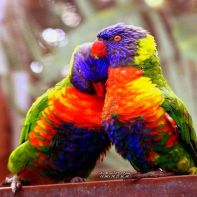 143095-download-10-adorable-and-cute-love-birds-wallpapers